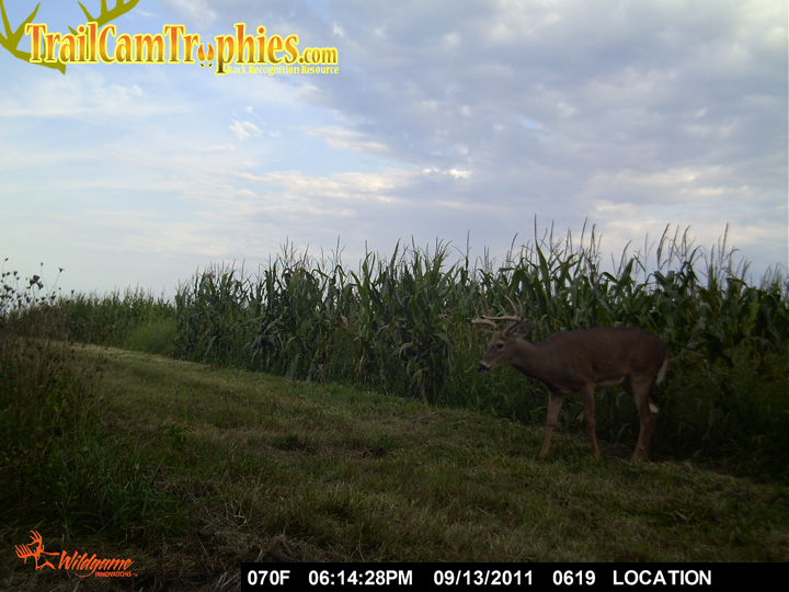 Buck in Cornfield