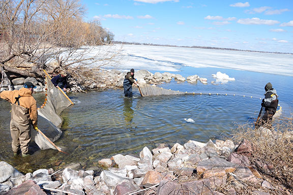 DNR personnel carefully pull their nets at the mouth of Buffalo Run on the west side of Big Spirit for northern pike. The pike spawn was completed and broodstock returned by April 5.