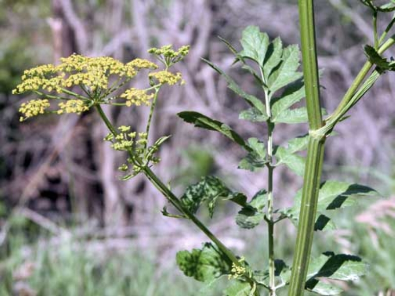The wild parsnip plant introduced from Eurasia is becoming increasingly common in Plymouth and Woodbury counties. The photo shows this invasive plant in mid-summer bloom. (ISU Extension photo)