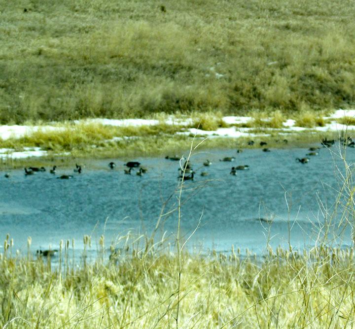 Spring-geese---#1