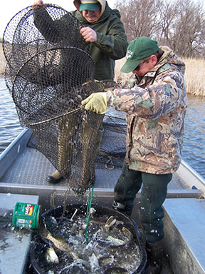 (photo submitted) DNR personnel place captured northern pike into the transport tub.