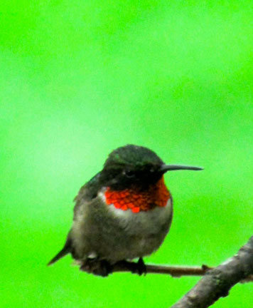 #2-male-hummingbird
