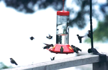 #3-Hummingbirds-fall-migration