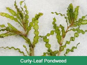 curly_leaf