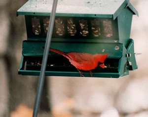 Male cardinal picks out his favorite seeds.