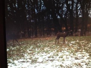 Buck harvested coming in to decoy