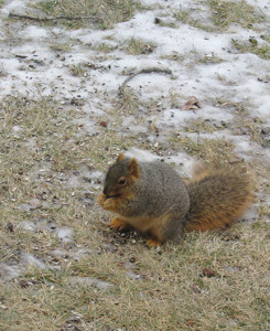 Squirrel feeds on spilled seeds – on the ground – where it belongs! (photo by Darial Weisman)