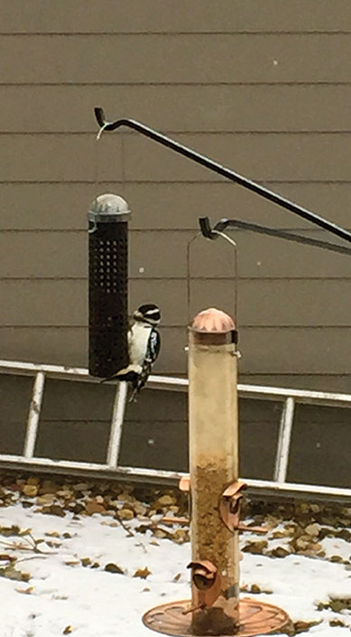Hairy woodpecker raps away at a peanut. (photo by Darial Weisman)