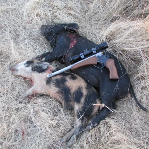 "Pictured are 2 pigs the author took with his pistol at 60 & 75 yards ""just for the experience""."