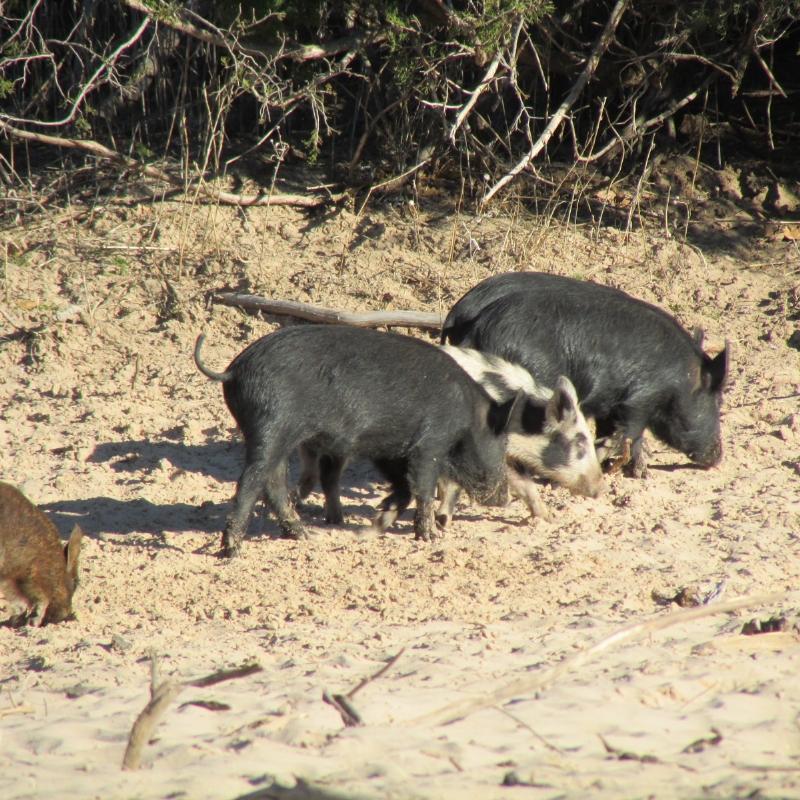 wild pigs 2