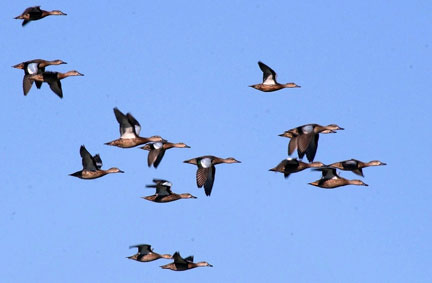 A flock of bluewing teal on the move  (photo by Lowell Washburn)