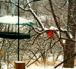 1a-out-the-back-door-cardinal