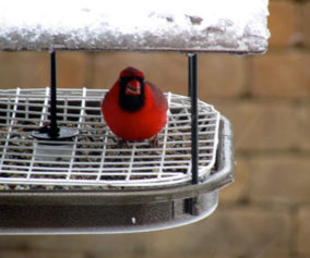 1b-out-the-back-door-cardinal-feeder