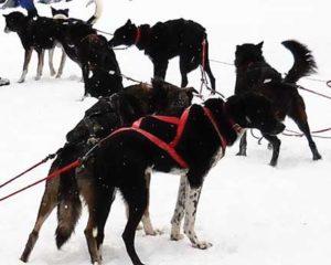 Dog-Sled-10