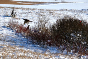 Strategically planted thickets and shelter belts, tall grass prairie and cattails surrounding restored wetlands are perfect habitat for wildlife and also a good way to utilize ground not really suited to growing crops.