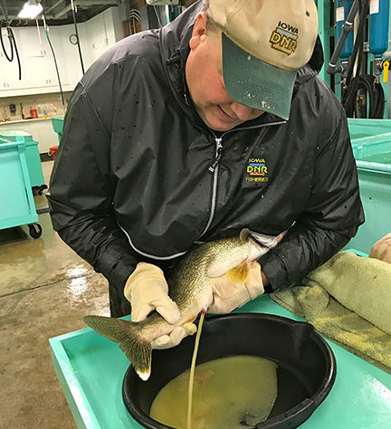 (photo by Steve Weisman) A DNR worker strips eggs from one of the female walleyes  from the final night of seining .
