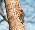 #1c-red-bellied-woodpecker-web