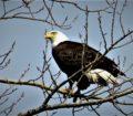 doug eagle