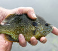 Bluegill close up caught fishing