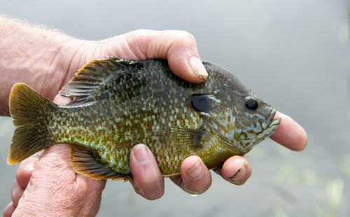 Bluegill close up caught fishing