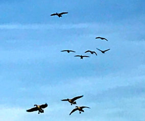 (photo by Steve Weisman) Iowa's waterfowl hunters are hoping to see scenes like this flock of Canada geese during the 2017 waterfowl season.