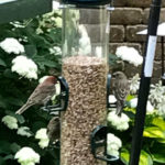 Finches at the NutraSaff seed