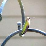 Hummingbird taking a break from feeding