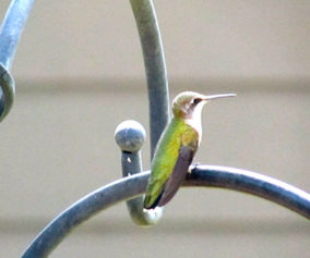 Hummingbird sits on a wrought iron railing after taking its bath.