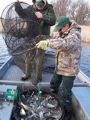 Spirit Lake Hatchery filling with walleyes   Northwest Iowa
